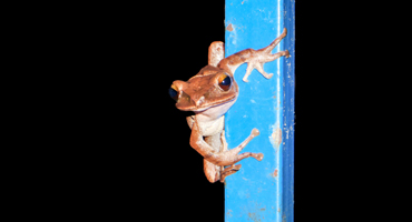 Picture Of A Coqui Frog